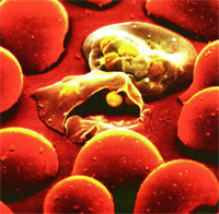 Клетка крови